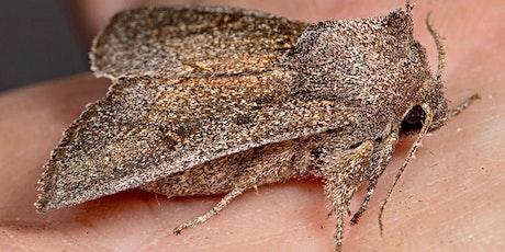 Blazing Star Borer Moth- Wildlife Series tickets