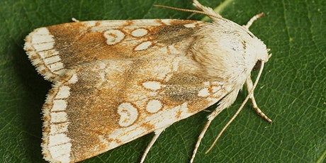 Watch Moths July (Zoom event) tickets