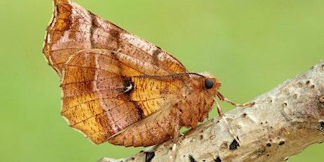 Watch Moths August (Zoom event) tickets
