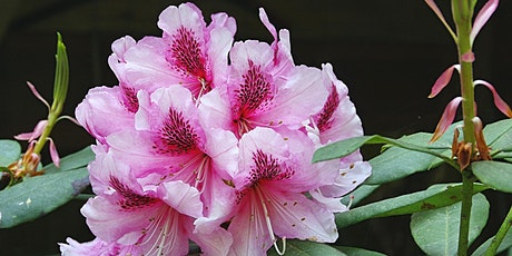 Rhododendrons – a guest talk by David Purvis tickets