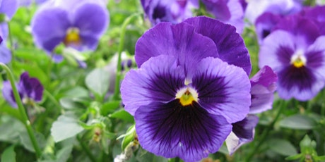 Needham History Center Pansy Day Plant Sale April 10 tickets