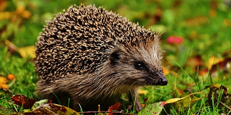 Sunday Sessions British Mammals - European Hedgehog tickets