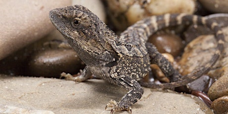Attracting Lizards to your Gardens  - Frankston City Council tickets