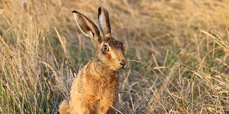 Wildlife Live Webinar - The Brown Hare (EWC 2821) tickets