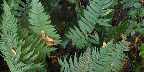 Fun Ferns in Leigh Woods nature reserve with Avellana Ecology tickets
