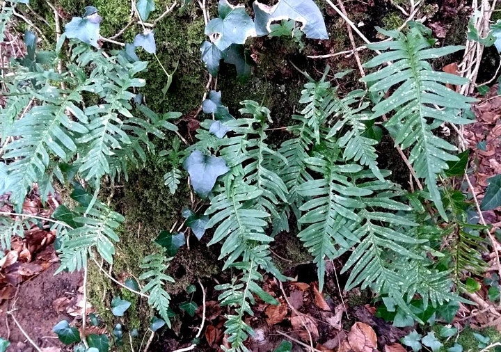 Fun Ferns in Leigh Woods nature reserve with Avellana Ecology image