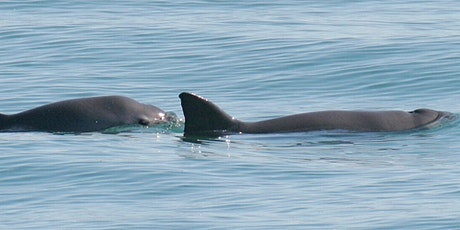 The Vaquita, the World's most endangered marine mammal (re-run) tickets
