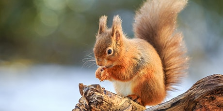 An Introduction to the Red Squirrel tickets