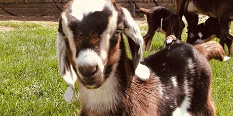Baby Goat Snuggles tickets