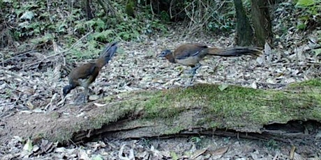 Listening for Lyrebirds - a citizen science project in the Tweed tickets