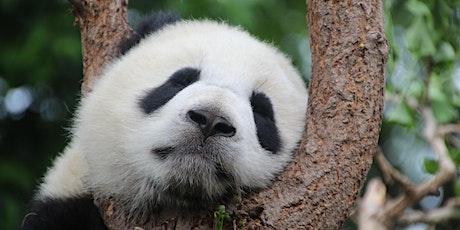 Chengdu Virtual Tour: Meet Pandas at Chengdu Panda Base tickets