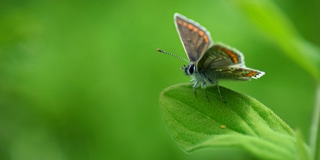 Guided butterfly walk at Hutchinson's Bank tickets