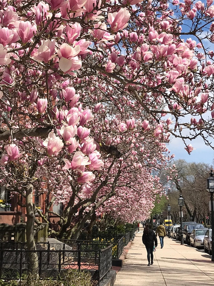 Back Bay Magnolias Self-Guided Tour image