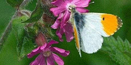 Spring Butterfly Walk at Totternhoe tickets