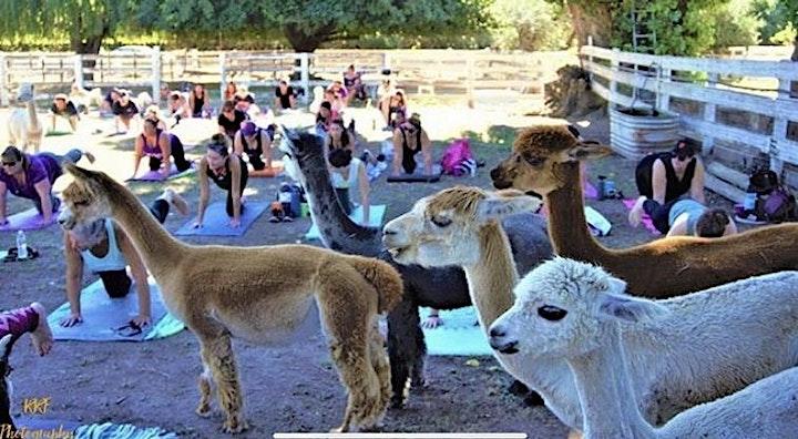 Alpaca Yoga Sip and Stretch image