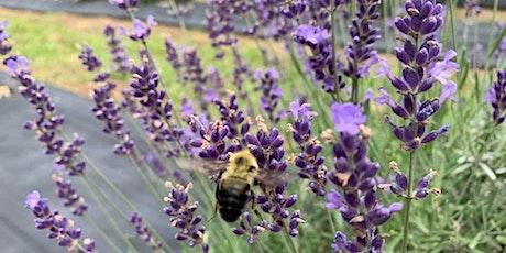 Lavender Festival tickets