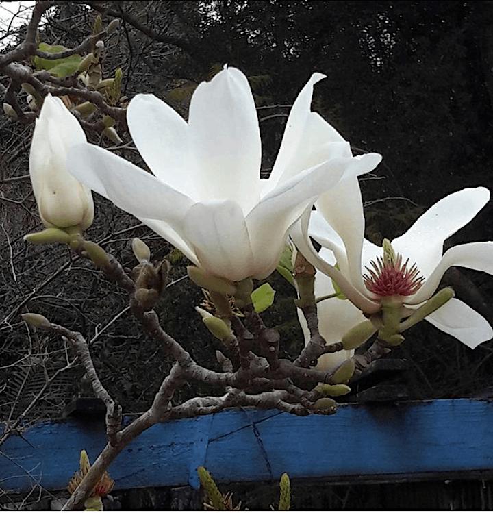 Tamborine Mountain Camellia and Magnolia Festival - Open Gardens Trail image