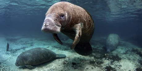 Siren Song - The Mysterious Florida Manatee (Webinar) tickets
