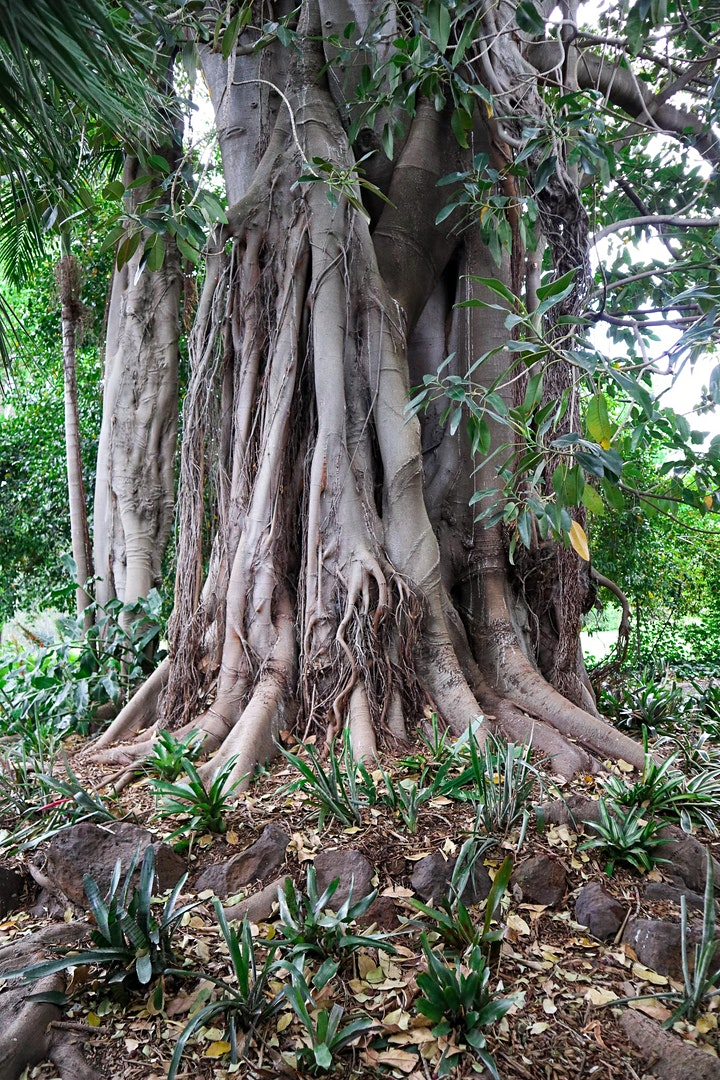 Significant Trees of Rippon Lea Garden - A Walking Tour image