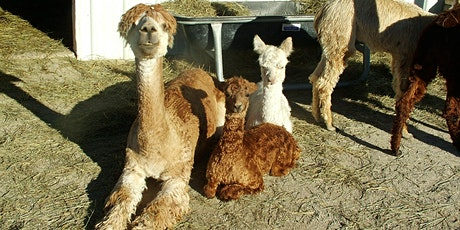 Meditation with the Alpacas tickets