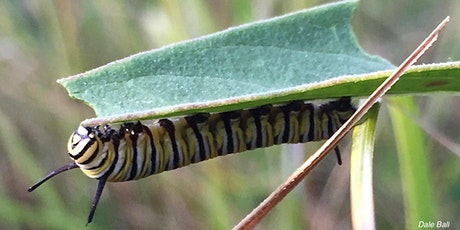 Monarch Larva Monitoring Project 2021 Virtual Training tickets