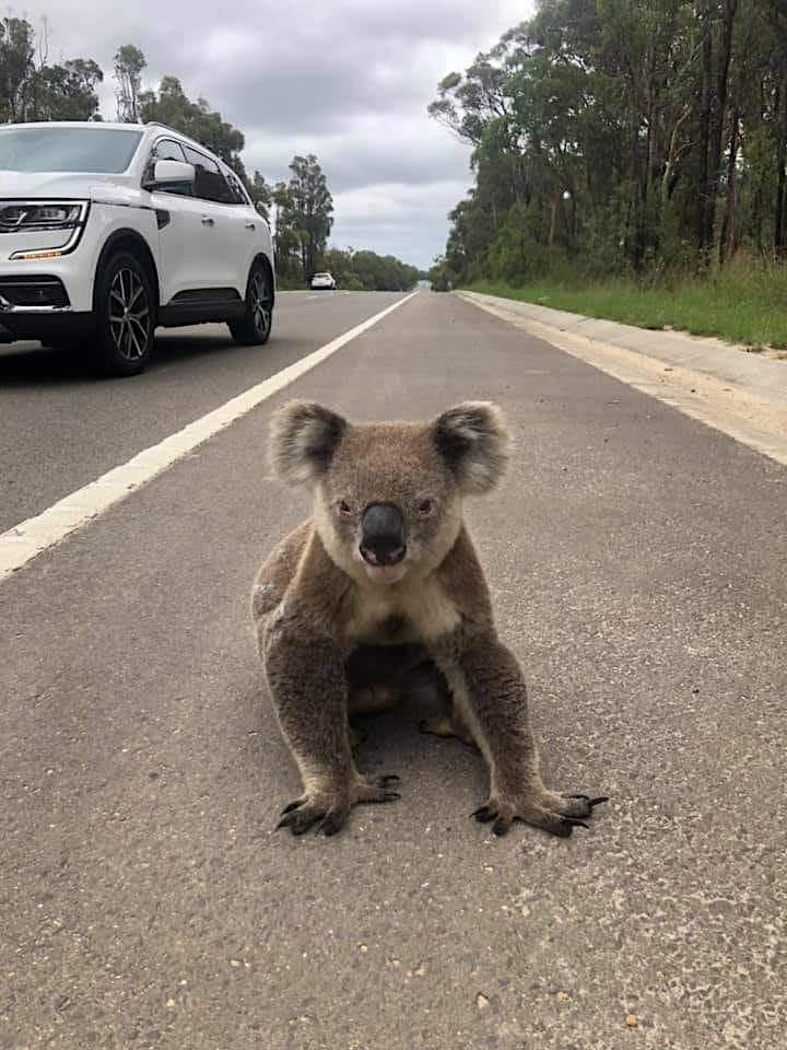 The Koala Corridor film preview at Hazelhurst image
