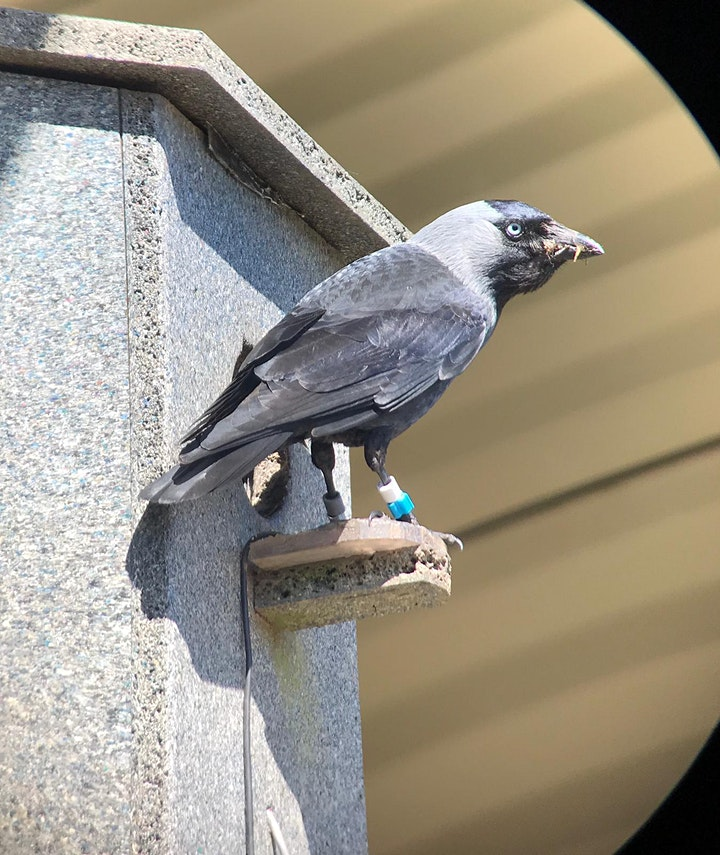 Virtual Café Sci | Social smarts: how jackdaws use each other to learn image
