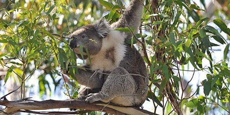 Koala Tree Planting in Crohamhurst tickets