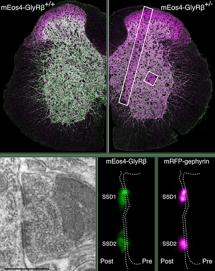 Dr Christian Specht - Quantitative SR-CLEM reveals stereotypic glycine... image