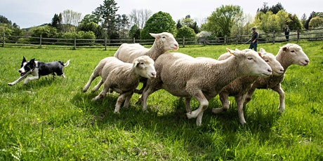 Sheep Shearing & Herding Entry Time Reservation tickets
