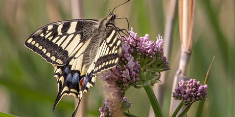 World Swallowtail Day at Wheatfen tickets
