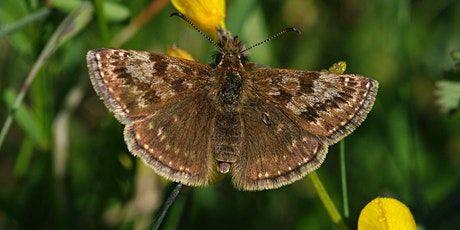 Butterfly walk for spring butterflies including Dingy Skipper tickets