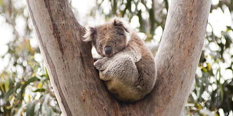 Wildlife Talk - Tandora Koala Colony Grows  - presented by Lindsay Titmarsh tickets