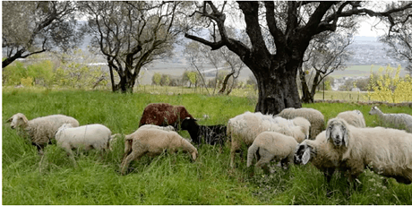 Tosatura  pecore a Villa Are biglietti