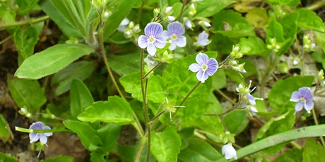 Half day course in depth spring & summer woodland plant ID at Leigh Woods tickets
