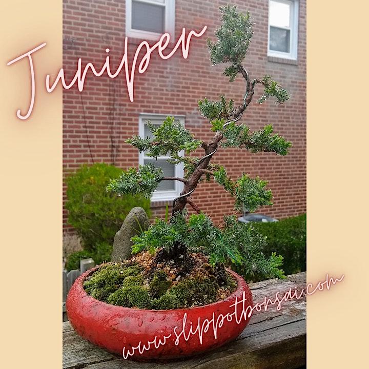 Juniper Bonsai at Broken Goblet Brewing image