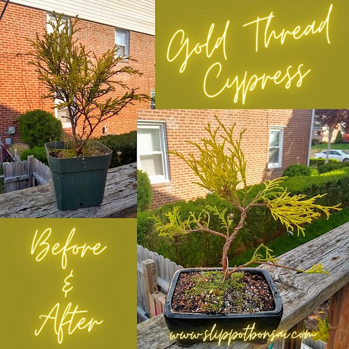 Beer and Bonsai: Gold Thread Cypress at Rec Room image
