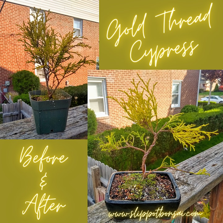 Gold Thread Cypress Bonsai at Bellefonte Brewing image