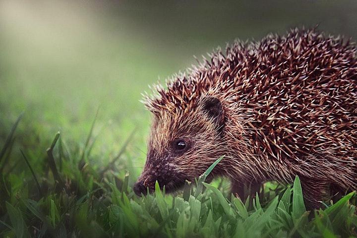 Hedgehog Ecology and Surveying image
