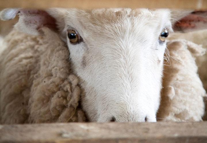 Ambury Shearing image
