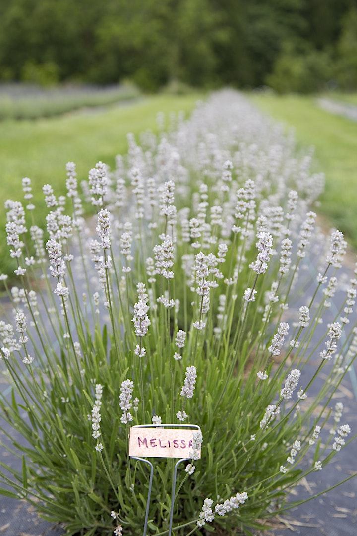 Lavender Farm Visit image