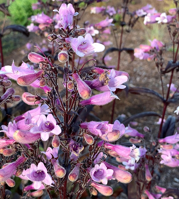 Lavender & Perennial Plant Sale image