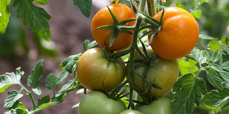 Caring for your Tomatoes tickets
