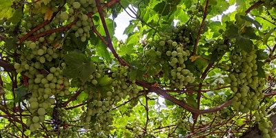 Edible Pruning Series – Workshop  2:  Fruiting Vines and Shrubs