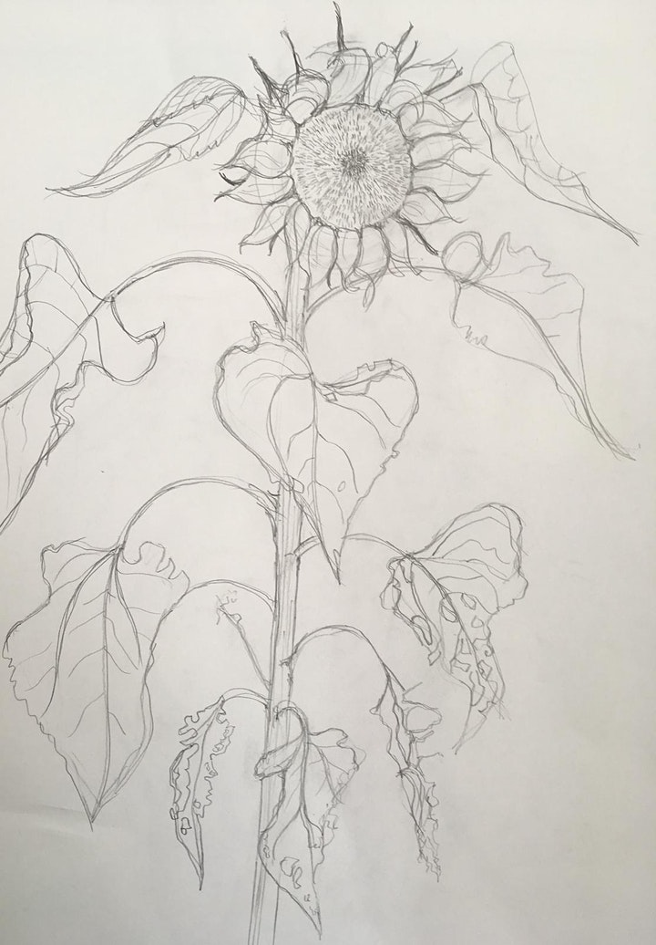 Sunflowers - Plant study workshop in pencil and watercolour with Jill Dow image