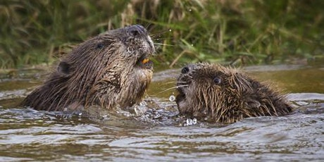 Beaver Conservation and re-wilding experience tickets