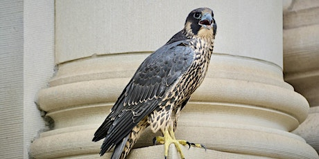 The Peregrine Falcon - A Natural History of an Urban Raptor tickets