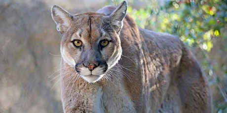 Mountain Lion Mitigation tickets