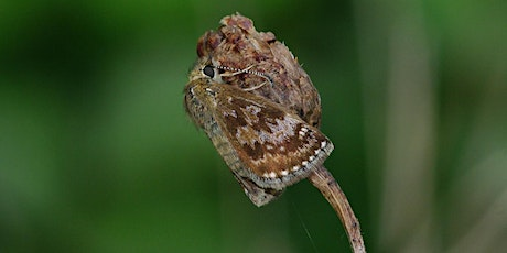 Guided walk for spring butterflies & day flying moths incl. Dingy Skipper tickets