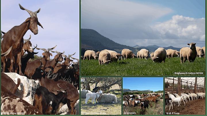 International Sheep and Goat Genomics Consortium virtual annual meeting image